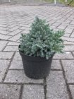 "Juniperus squamata ""Blue star"" Juniperus squamata ""Blue star"""
