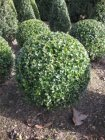 Buxus sempervirens bol 90+