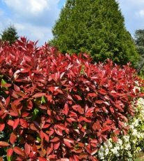 "Photinia fraseri ""Red Robin"" 80/100"